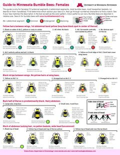identification for bumble bees of Minnesota