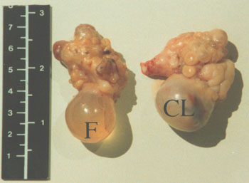 A pair of ovaries from a dromedary camel. There is a translucent follicle (F) on the left and an opaque corpus luteum (CL) on the right ovary.
