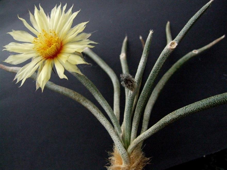 Astrophytum caput medusae - 5 seeds — rareplant