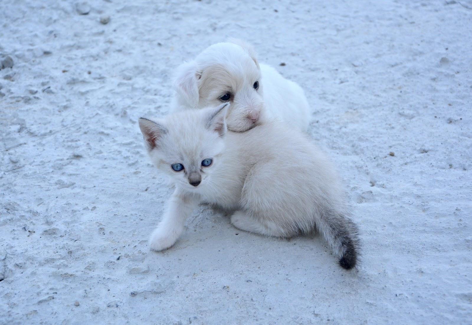white puppy and kitten cuddle