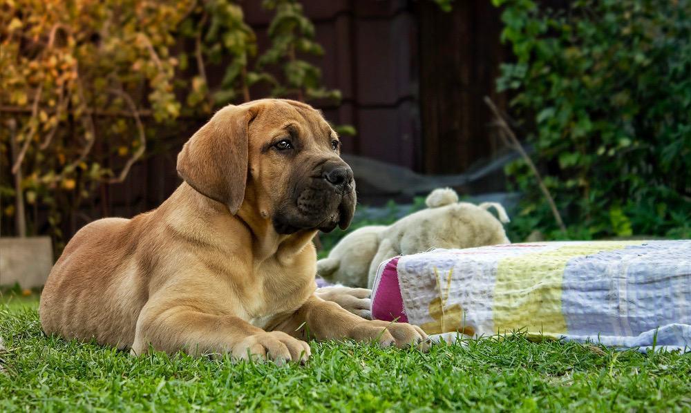 Boerboel Weight Chart   Boerboel Puppy Size & Growth Chart