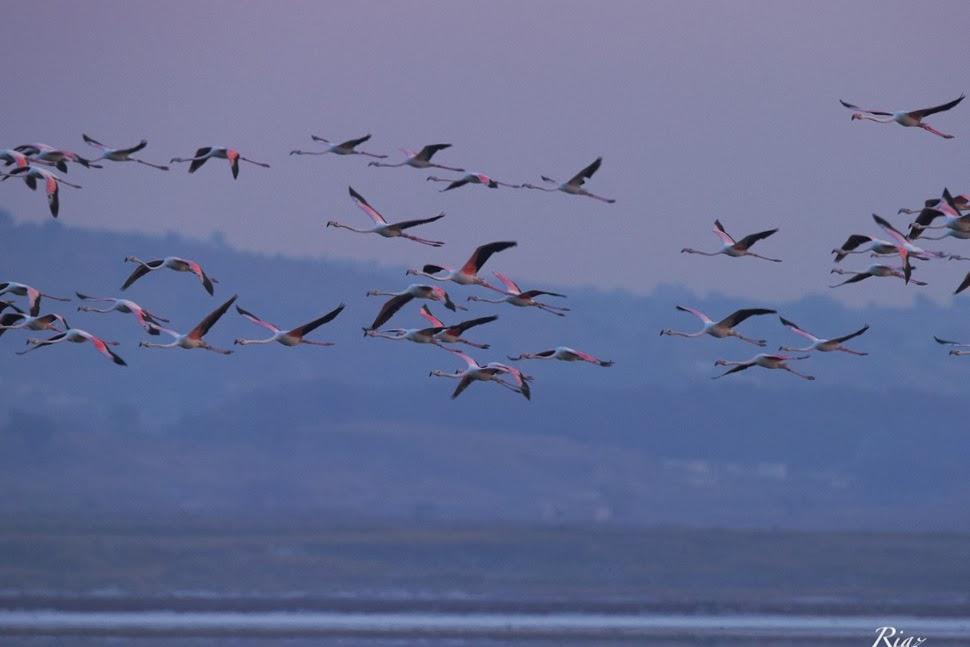 Greater Flamingo Group Flying.jpg