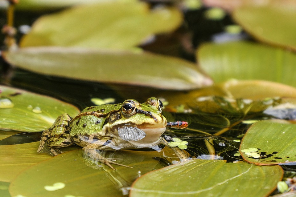 Green-Frogs-Frog-Pond-Garden-Pond-Water-1427476.jpg