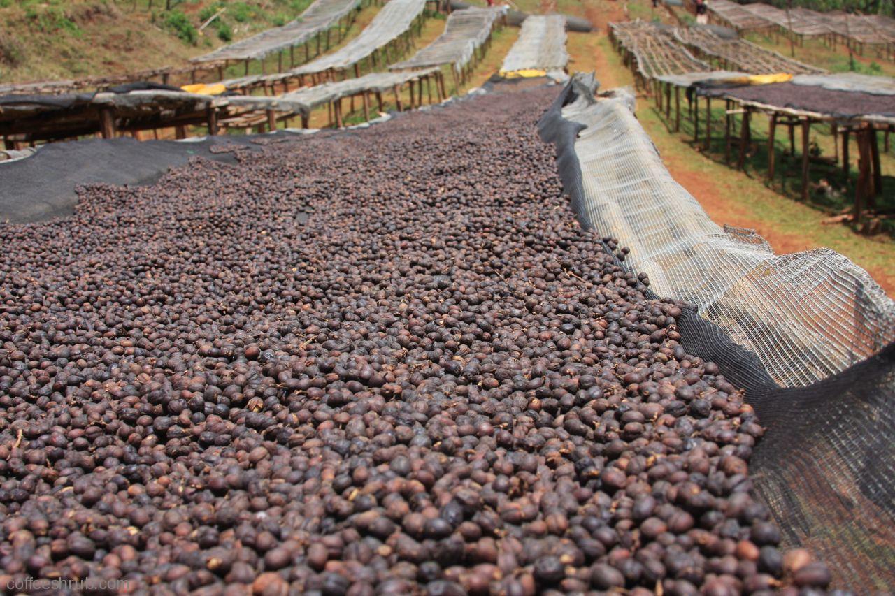сушка кофейных зерен