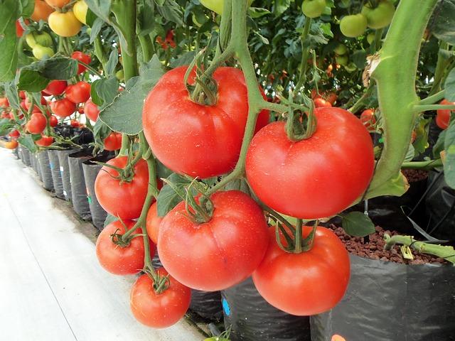 Plantes de tomates avec fruits mûrs rouges en culture hors sol