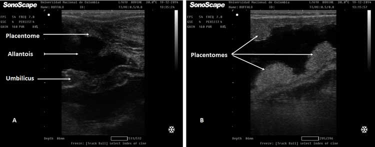 A. Ultrasound image of the umbilical cord at Day 150 of buffalo pregnancy. 23B. Ultrasonographic view of a 150 day pregnant buffalo. Arrows show placentomes of different sizes.