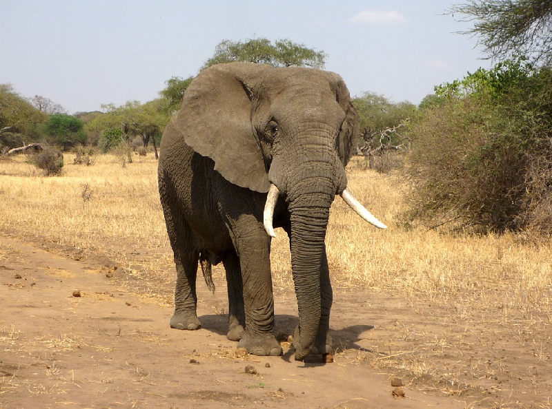 African elephant walking through the savannah