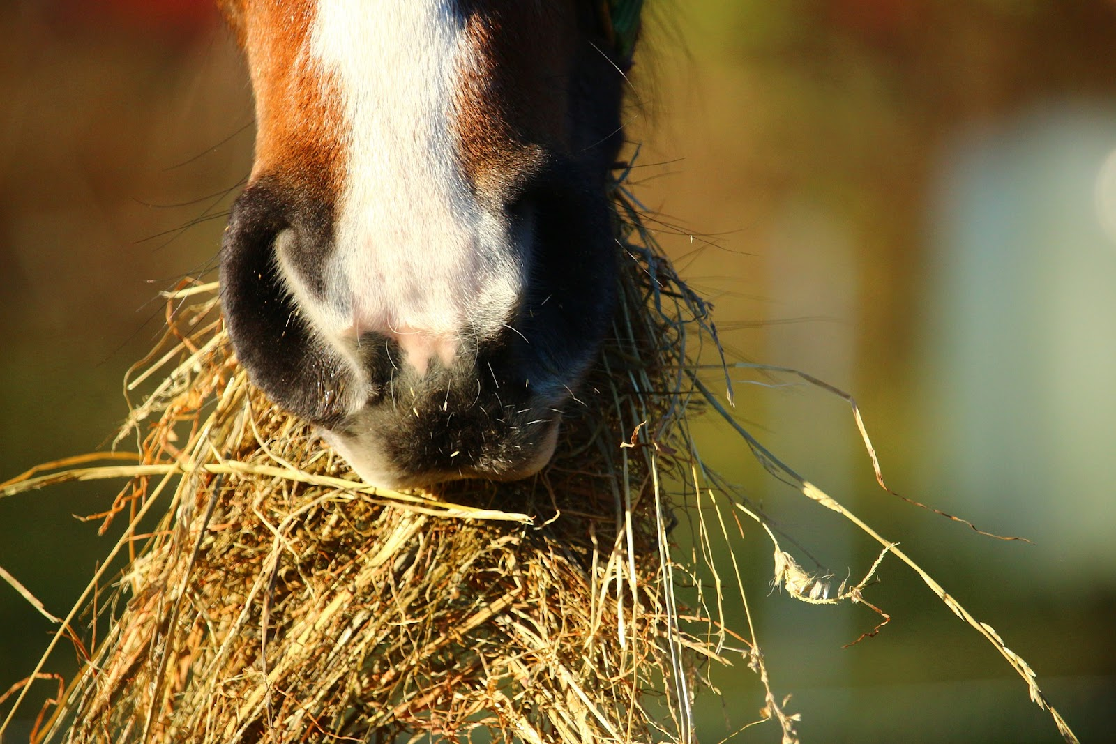 A horse eats a mouthful of hay