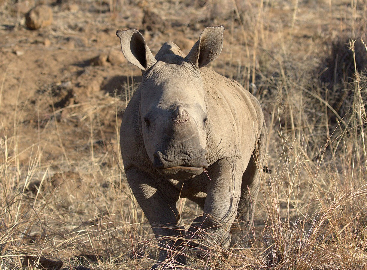 white rhino baby (Copy).jpg