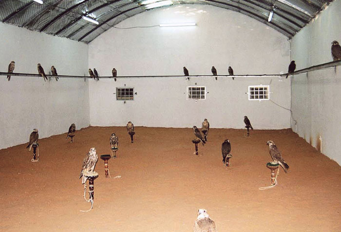 A typical free-flying molting room in the Middle East measures 15 x 8 x 5 m and is provided with red desert sand as a substrate