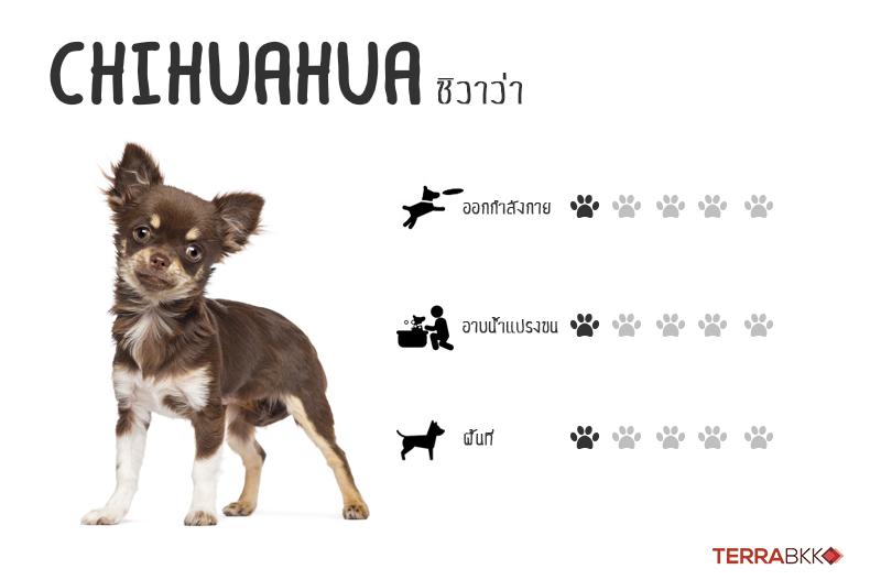 2. ชิวาว่า (Chihuahua)