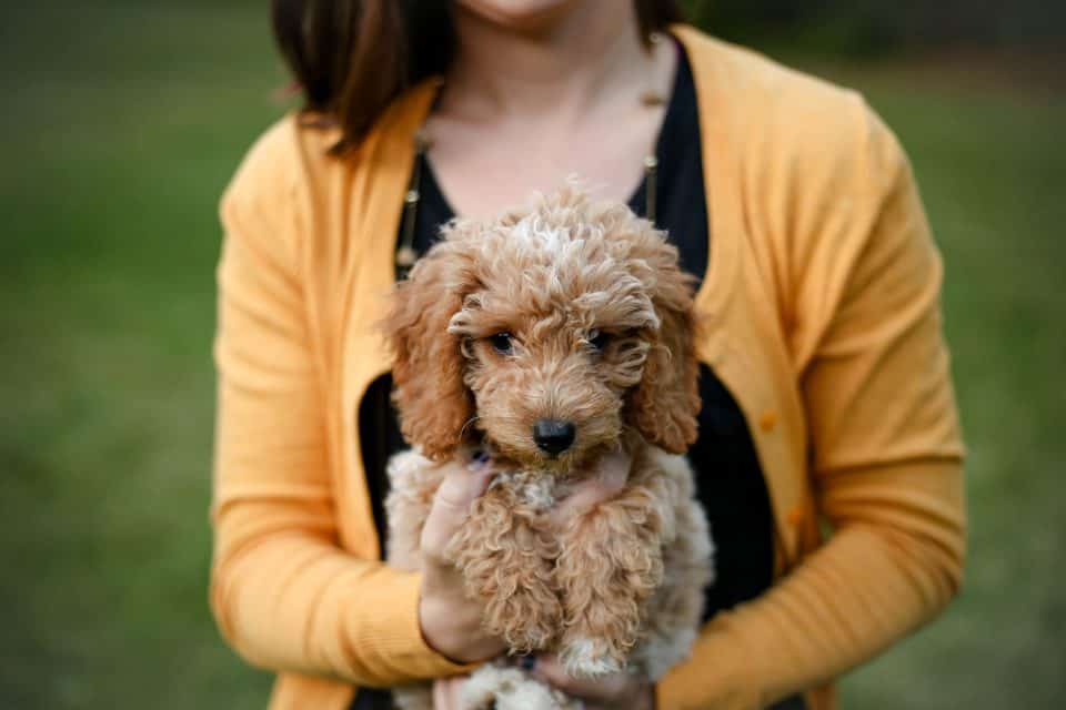 lainey lou the goldendoodle