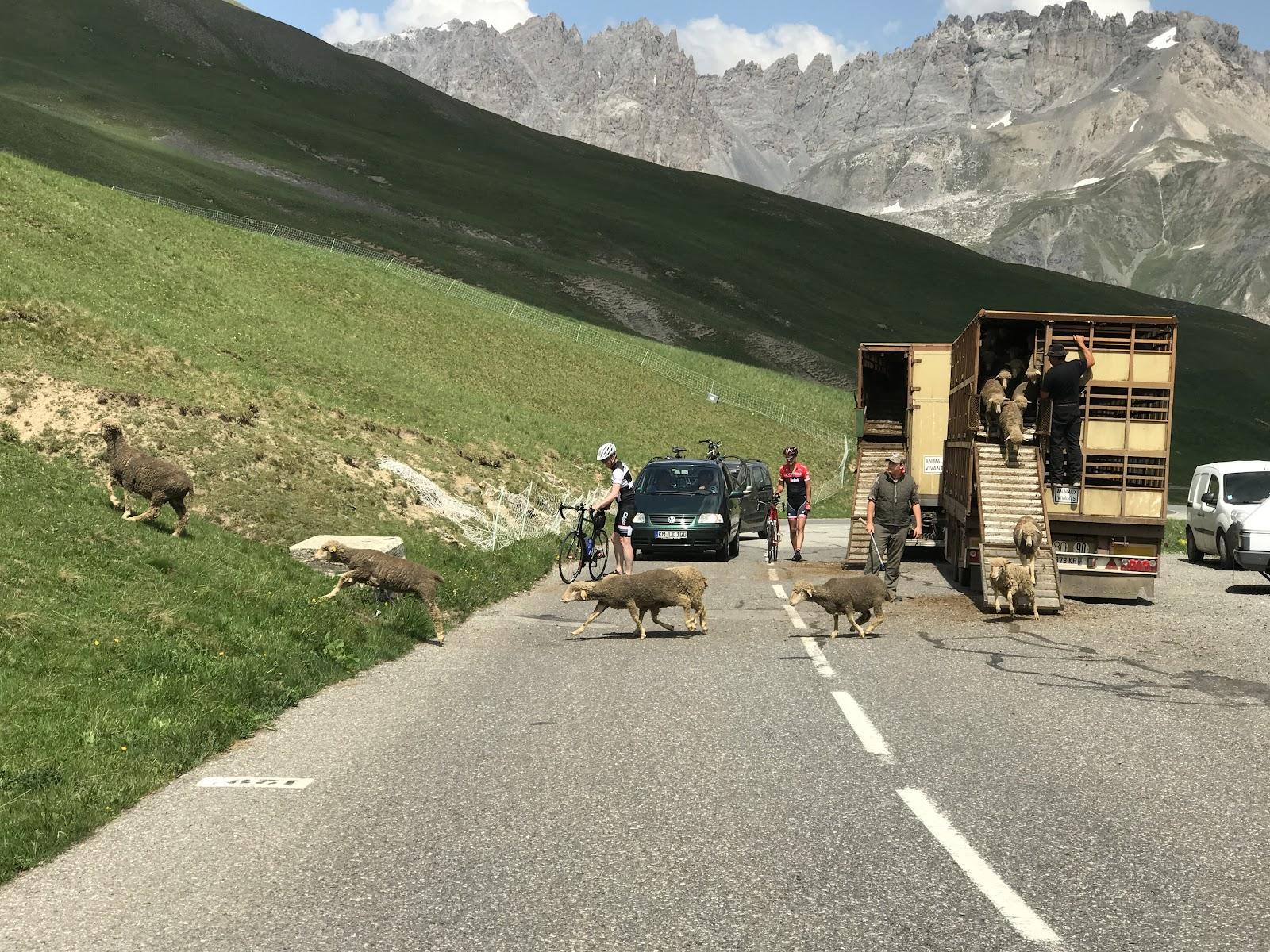 Great bike climb Col du Galibier - from Valloire - sheep on roadway