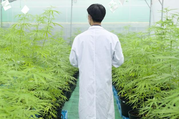 un scientifique en blouse blanche se tient dans une serre de cannabis,  législation sur le  CBD en France