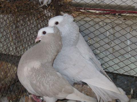 عکس کبوتر خارجی