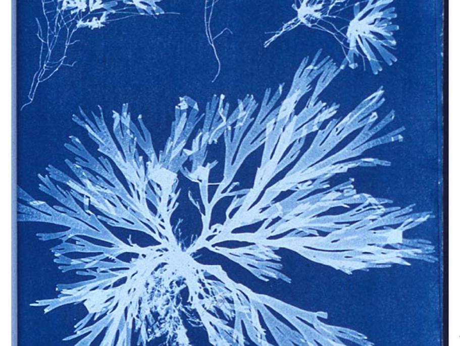 Anna Atkins cyanotypes.