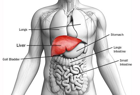 Image result for liver location""