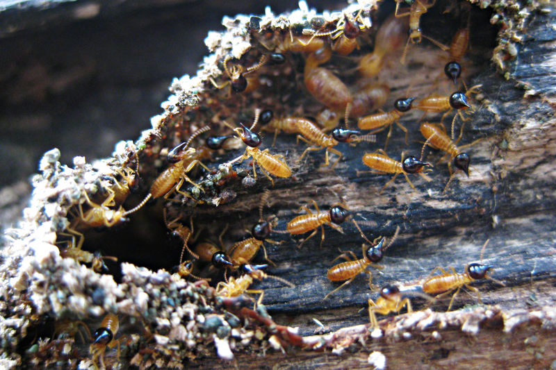 File:Nasute termite soldiers.png