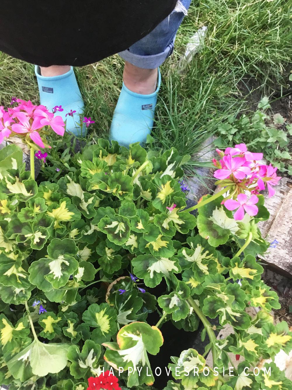 garden shoes and geraniums
