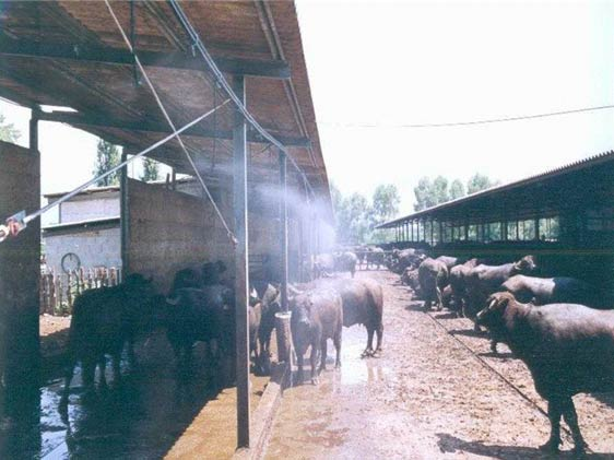 The use of showers or sprinkles to mitigate thermal stress is an important measure to relieve the effects of heat on buffaloes, improving reproductive performance.