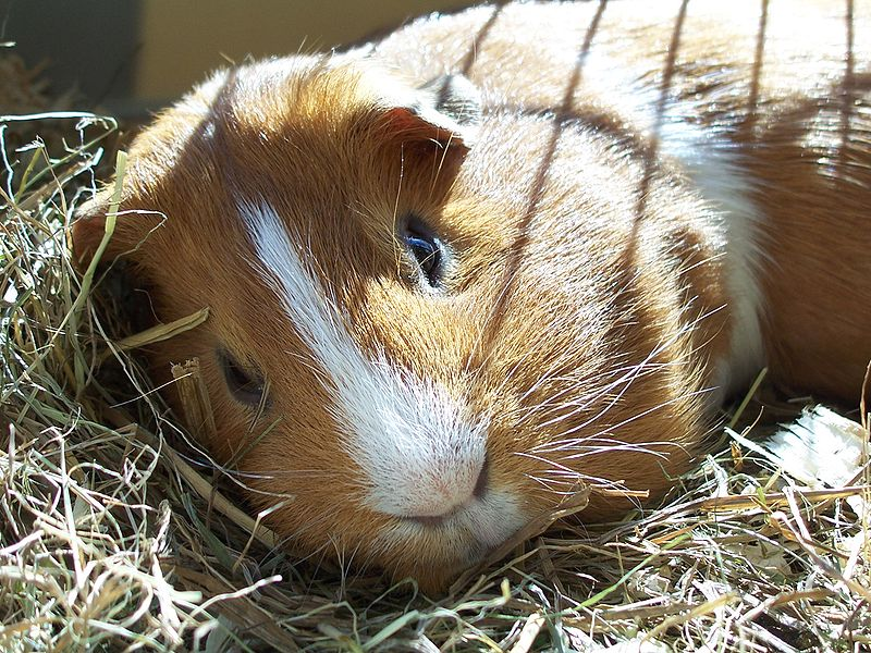 how long can a guinea pig be left alone