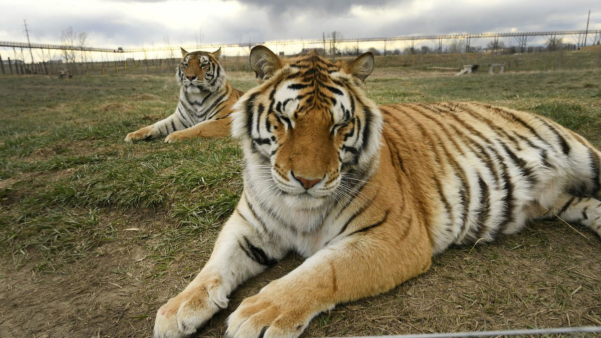 Two tigers lie on a grassy field.