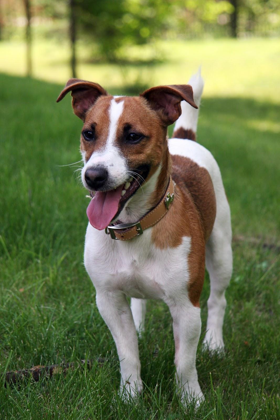 Jack Russell Terrier 1.jpg