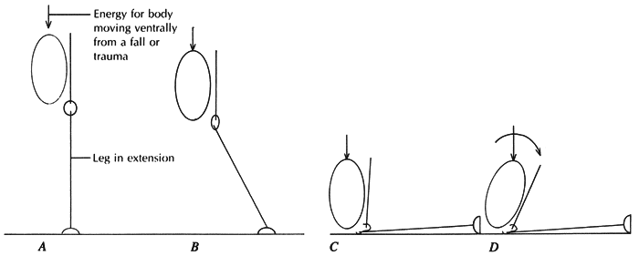 A. The animal's body is moving ventrally while the forelimb is in extension and weight-bearing