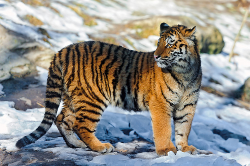 amur tiger illegal hunting