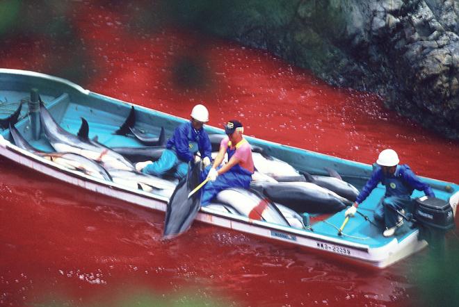 (사진출처 : https://pl.wikipedia.org/wiki/Plik:Dolphin_slaughter_in_Taiji_Japan.jpg)