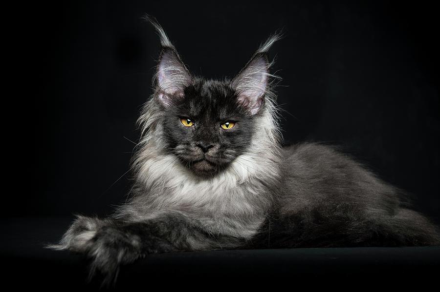 Gatos Mapache