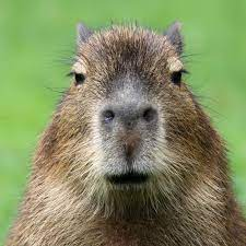 Capybara   Rainforest Alliance