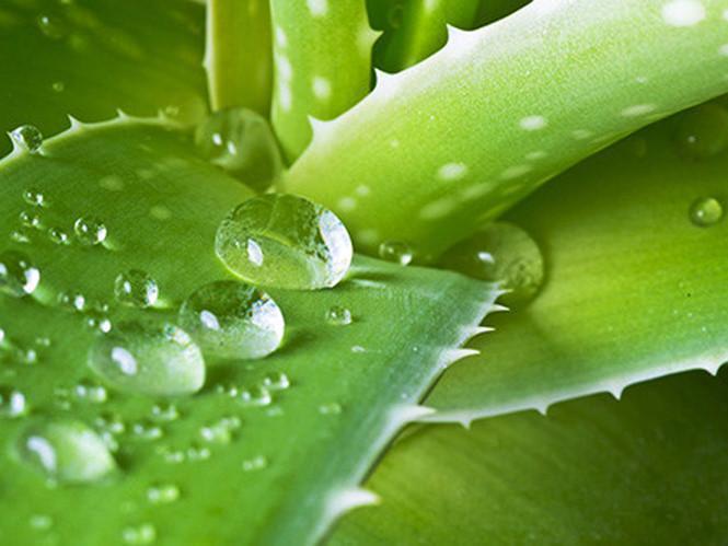 Lô hội chứa thành phần được sử dụng trong loại thuốc chữa táo bón /// Ảnh: Shutterstock