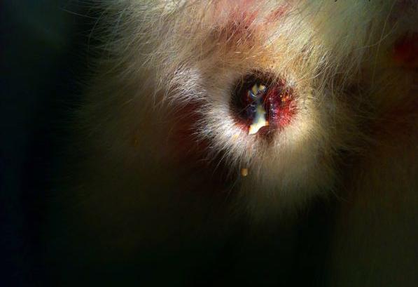 Resultado de imagem para balanopostite cão