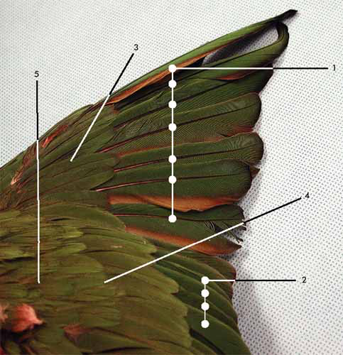 Plumage of the extended right wing. Dorsal view. 1.