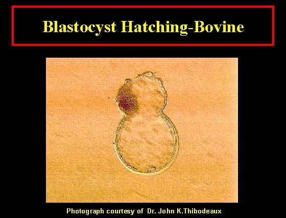 A bovine blastocyst hatching through a crack in the zona pelucida.