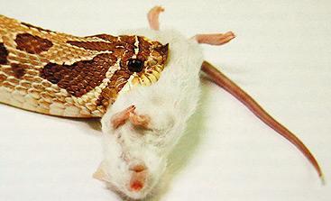 Image result for WESTERN HOGNOSE SNAKE EATING