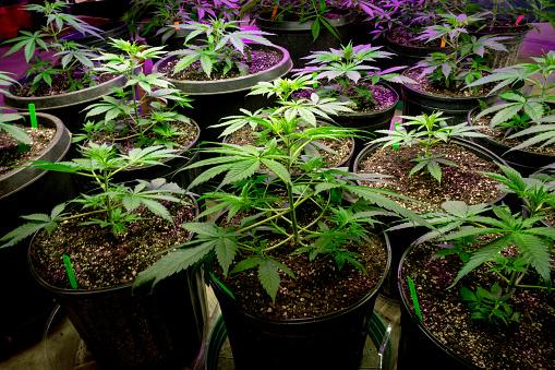 Learning how to grow autoflower cannabis isn't difficult.