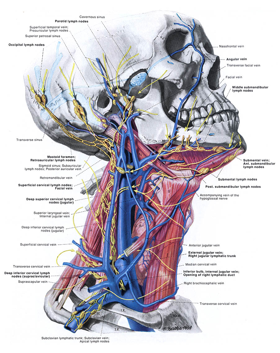 Anatomy of the Neck, Transverse Cervical Vein, sexual turn-on