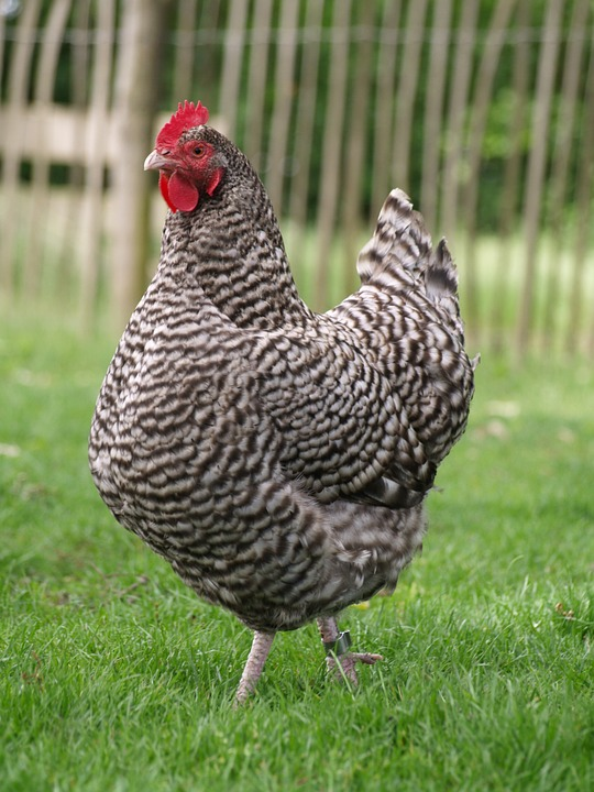 Plymouth Barred Rock