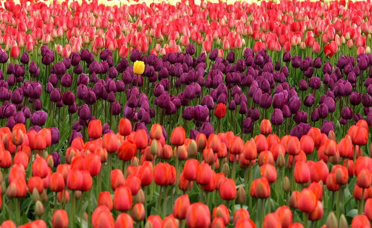 tulips-175605_1280.jpg