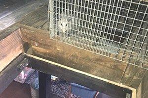 opossum trapped inside a customers attic