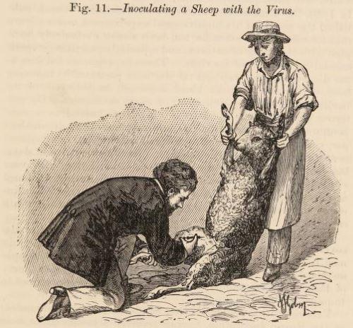 图片3:伤害绵羊抗炭疽。在这种方法中共同努力的两名男子可以在观看此程序后仍然仍然保持在一小时内免疫接下来的150只绵羊。资料来源:乔治弗莱明,巴斯德和他的工作,来自农业和兽医观点(伦敦:威廉·克劳斯和儿子,1886),p。51。