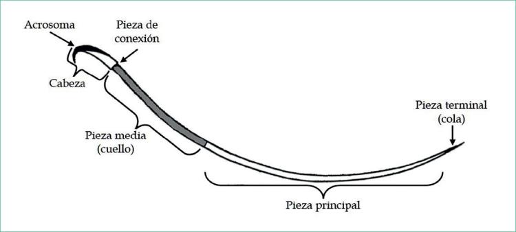 Estructura anatómica del espermatozoide de la rata.