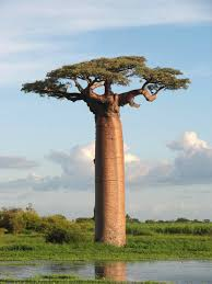 Description: Adansonia grandidieri .jpg