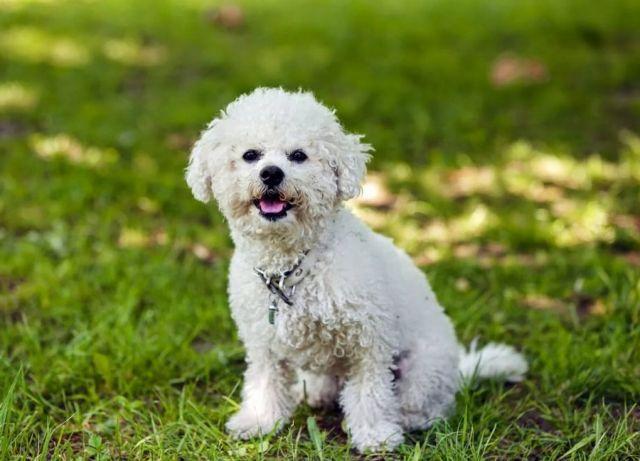 Собака бишон фризе: описание породы, характер, болезни, уход | Блог  ветклиники
