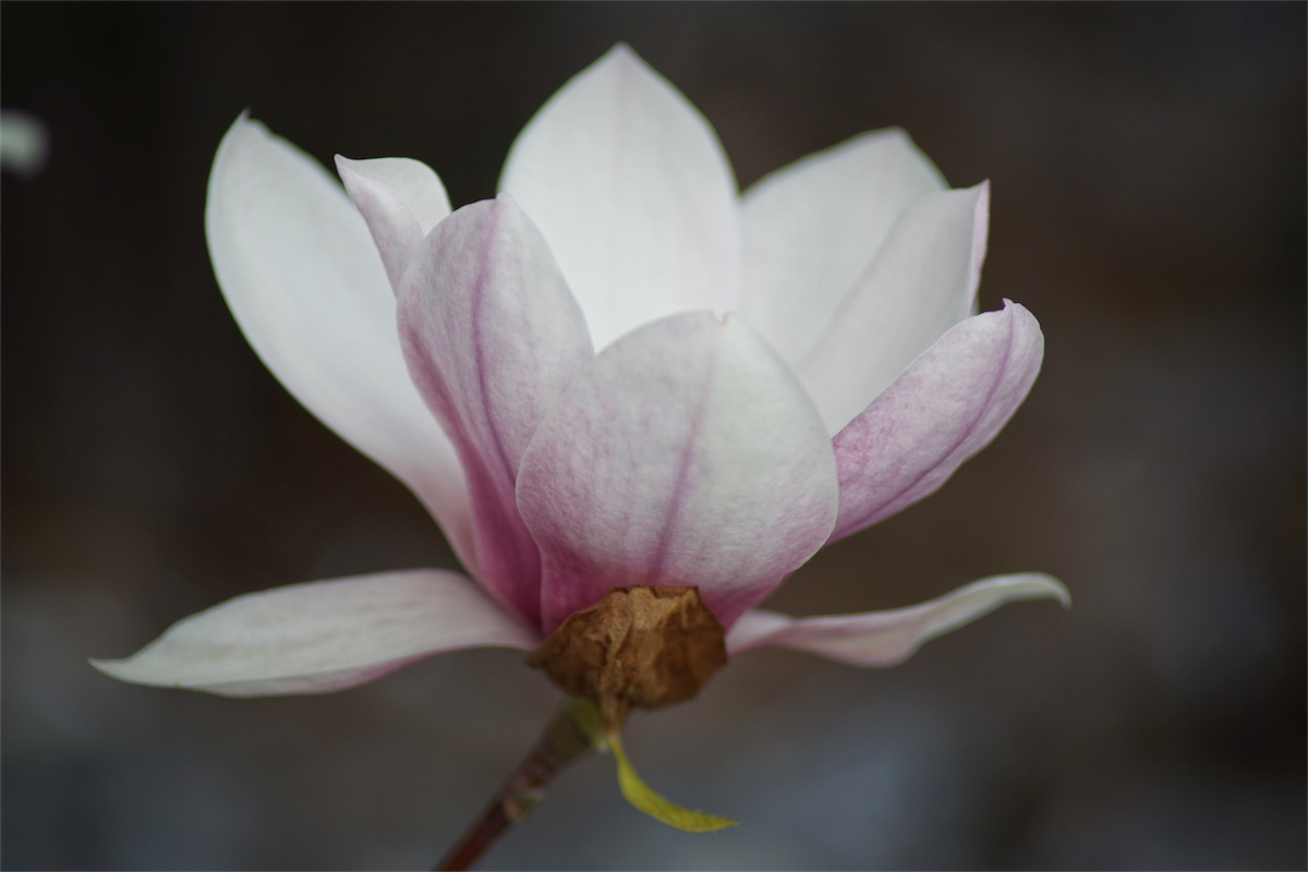 Magnolia 3.jpg