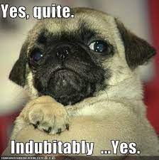 alarmed pug, yes, quite, indubitably yes