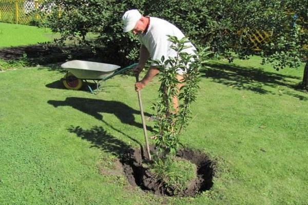 Выбор места для посадки саженца вишни