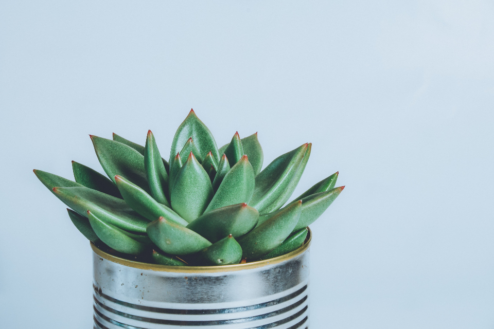 A succulent pot plant [Image source: https://stocksnap.io/photo/SUSVDM9A0A]